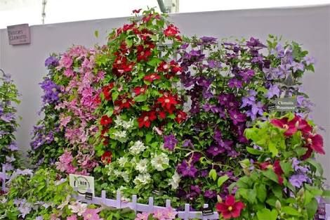 Clematis show - Google Search