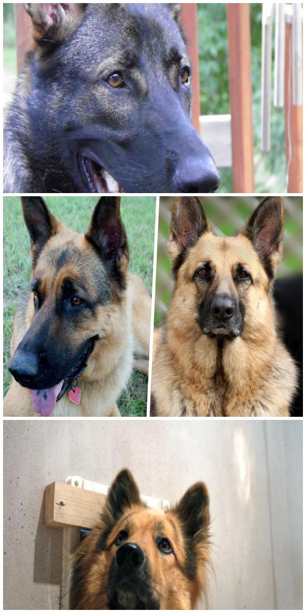 The Best All German Shepherd Breeds German Shepherd Puppies For Adoption Near Me German Shepherd Breeds Puppy Adoption Shepherd Puppies