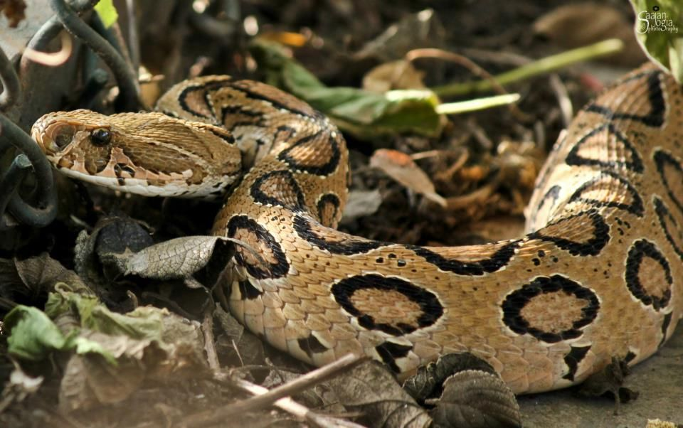 Image result for russell viper snake