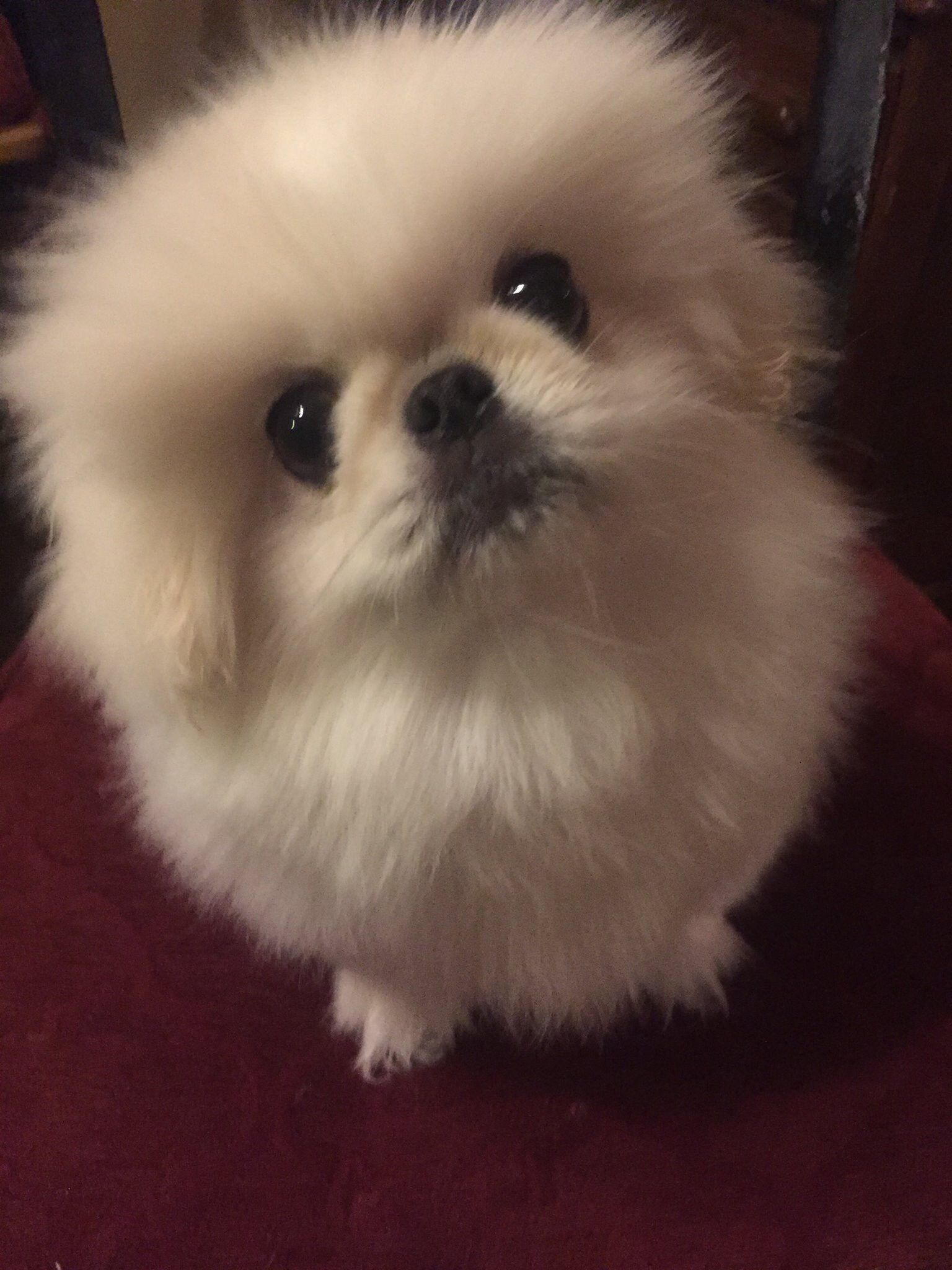 Hi Baby You Re Such A Good Boy Beautiful White Pekingese Puppy