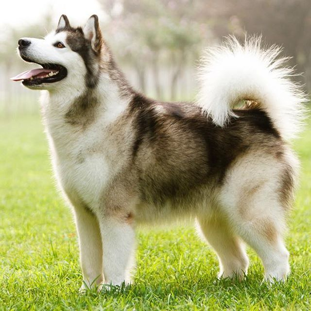 The Alaskan Malamute From Arctic Sled Dog To Family Pet Malamute
