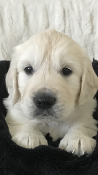 Litter Of 9 Golden Retriever Puppies For Sale In Las Vegas Nv Adn