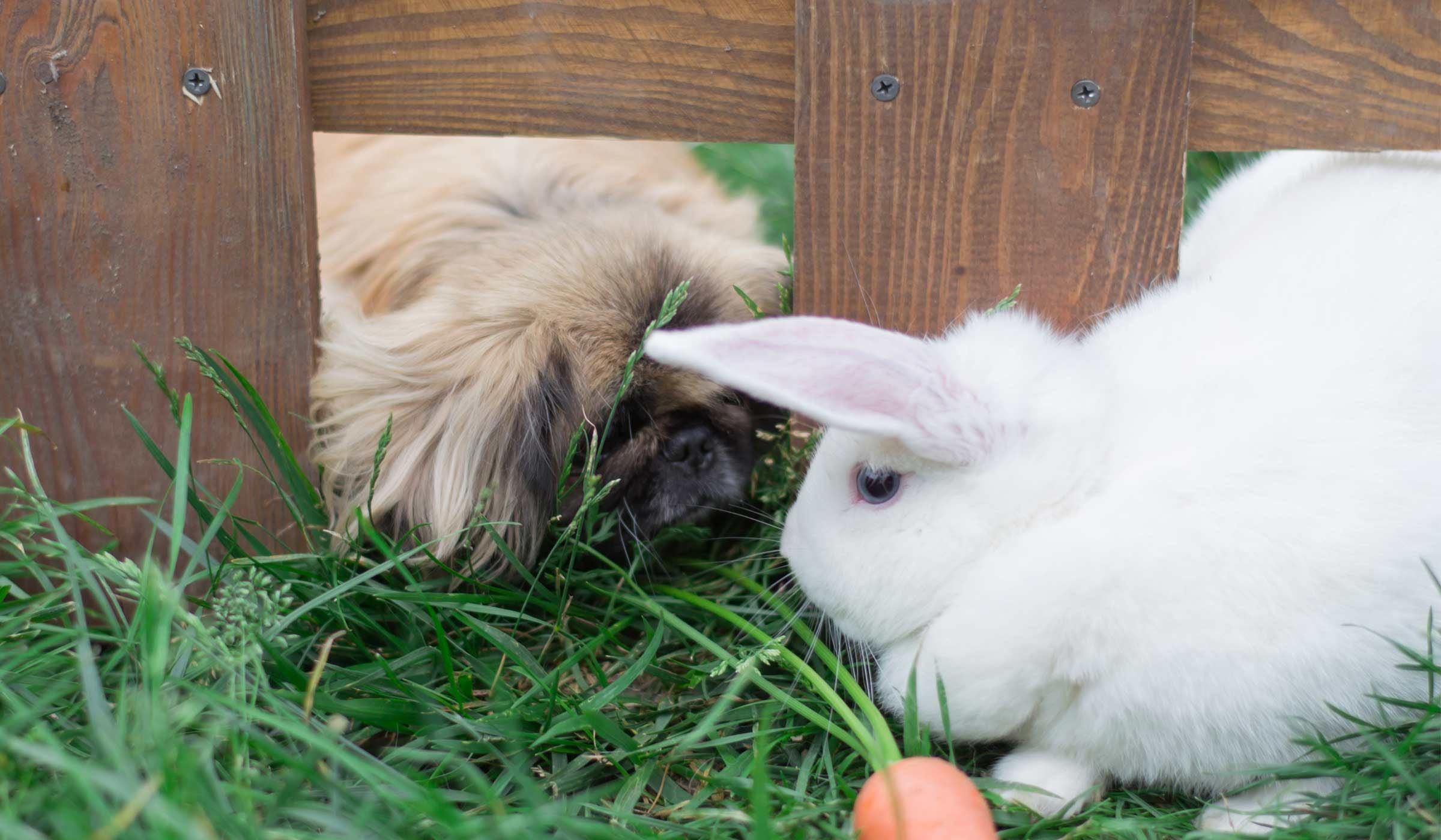 How To Train Your Small Dog To Like A Rabbit How To Introduce