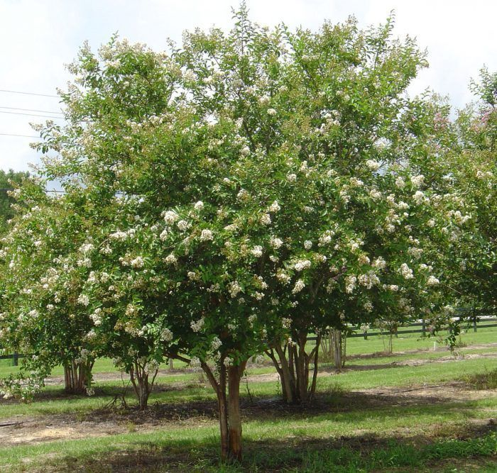 Crepe myrtle natchez white garden pinterest crepes gardens white crepe myrtles are small upright trees with white flowers in summer dark green leaves that turn red bronze in autumn and smooth bark with areas of mightylinksfo