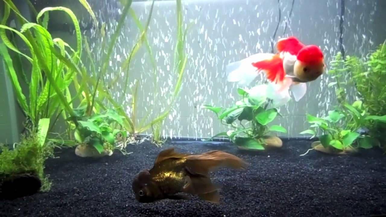 Goldfish Care Proper Tank Size 1 Goldfish 30 Gallons 2 Goldfish 40 Gallons Goldfish Goldfish Tank Goldfish Care
