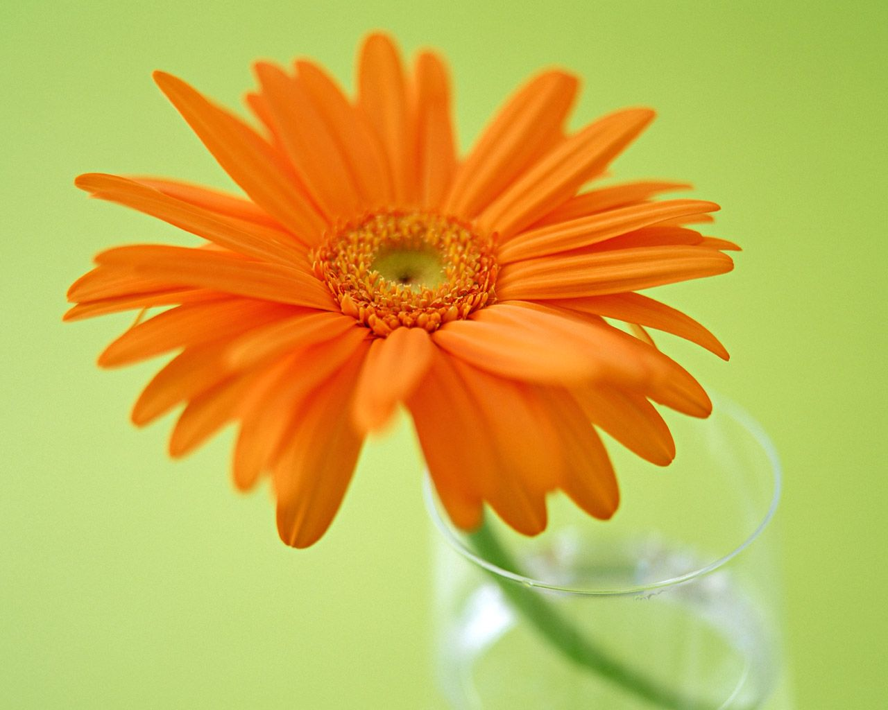 Gerbera Daisies symbolize cheer, but more traditionally