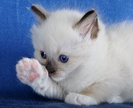 Precious Blue Gem Ragdoll Kitten (Blue Gem is the name of