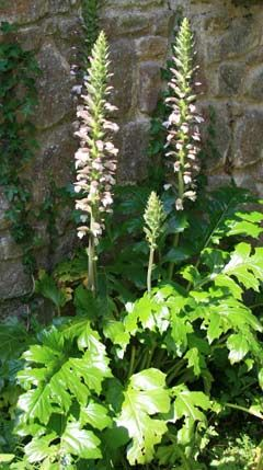 Acanthus mollis bears britches in the garden pinterest loadposition adsense responsive top acanthus mollis known as bears britches is an excellent plant for the garden mightylinksfo
