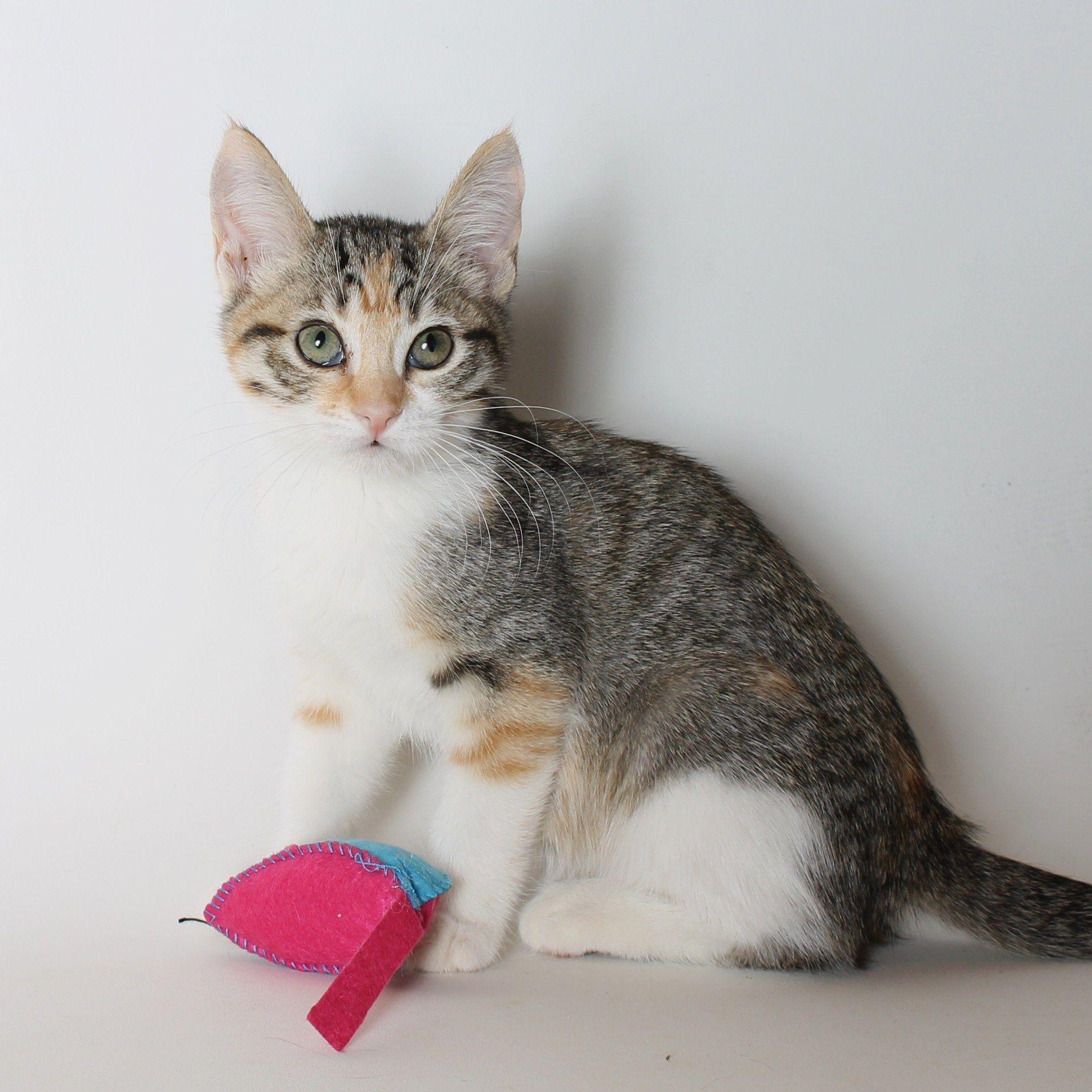Princess Leah Kitten At Living Free Adoptme Animal Sanctuary Pet Adoption Animals