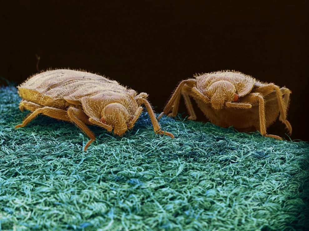 A Microscopic Image Of Two Bedbugs On Fabric Bed Bugs Bed Bug Trap Bug Trap