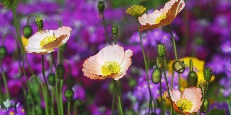 Iceland poppies and primula
