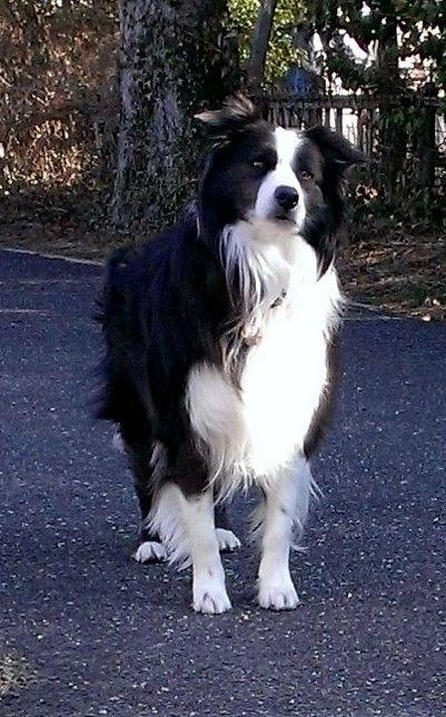 My Cullie Boy Loving Spring Collie Dog Collie Puppies Border