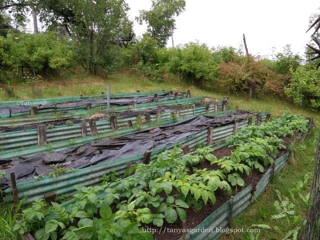 Terrace Gardening On Slopes Never Seen Potatoes Growing On A