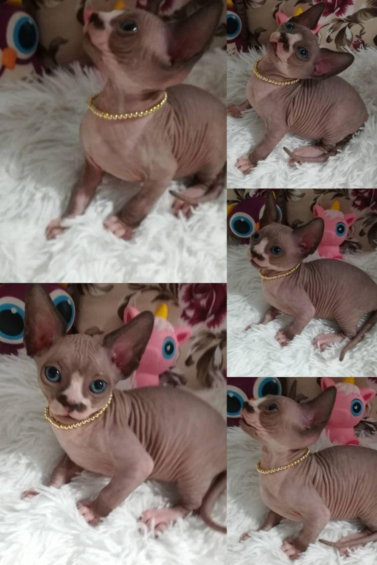 Cute Sphynx Kittens For Sale In 2020 Sphynx Cat Kitten Love Sphynx Kittens For Sale