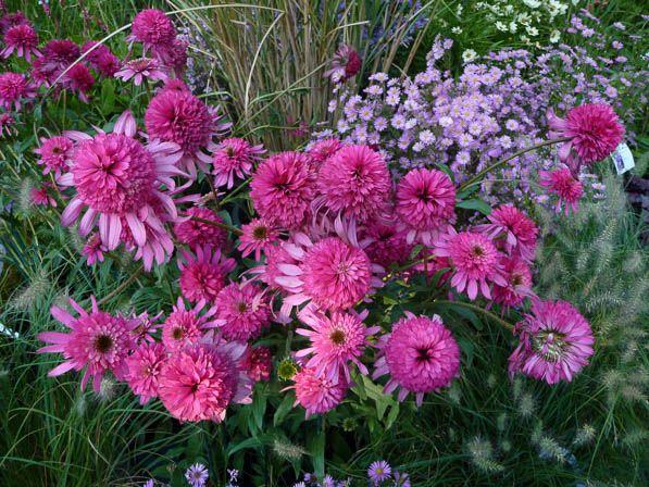 Echinacea 39 southern bell 39 p pini re le ch tel des vivaces - Plantes fleuries d automne ...
