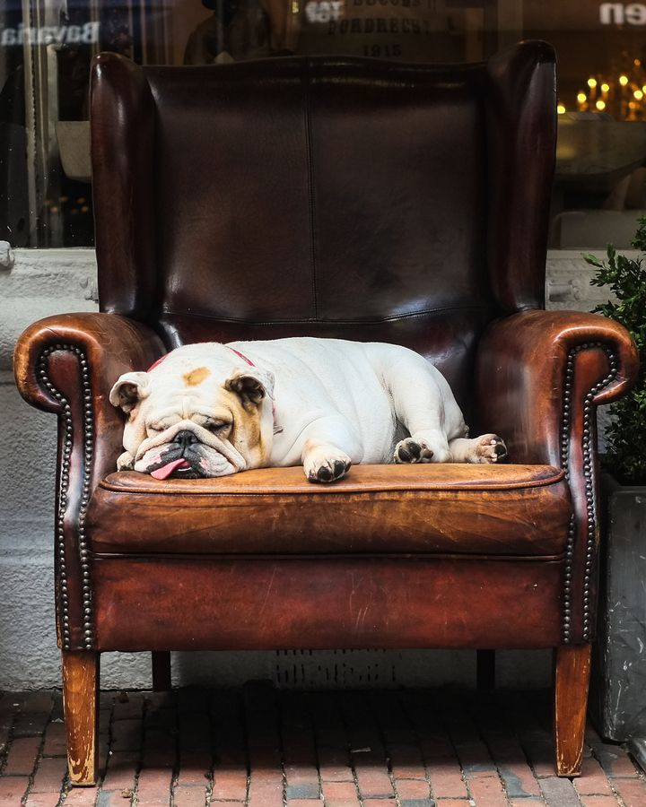 Bulldog Napping On A Comfy Leather Chair Bulldog English