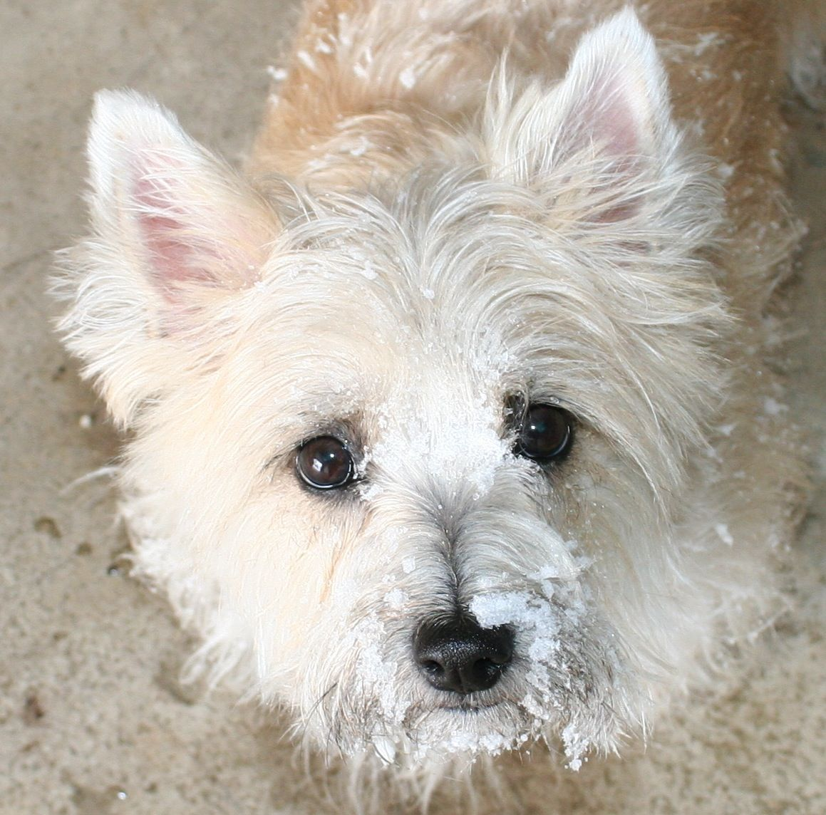 Carin Our Snow Baby Cairn Terrier Terrier Animals