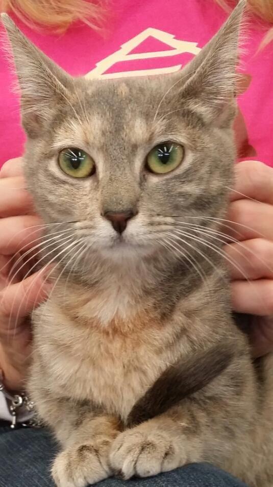 Adopt Tigress On Petfinder Cat Adoption Cool Cats Calico Cat