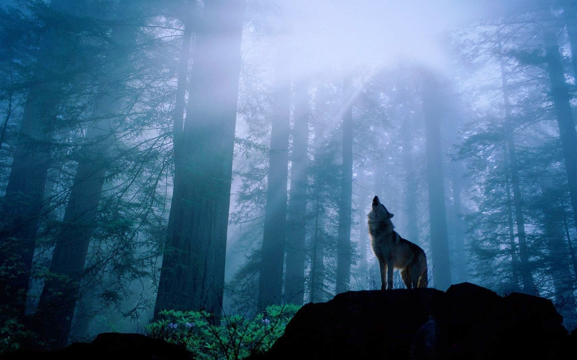 Wallpapers For > White Wolf Howling Wallpaper Desktop