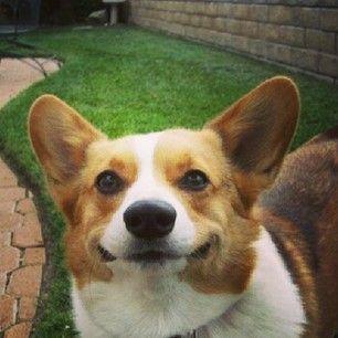 Smiley corgi