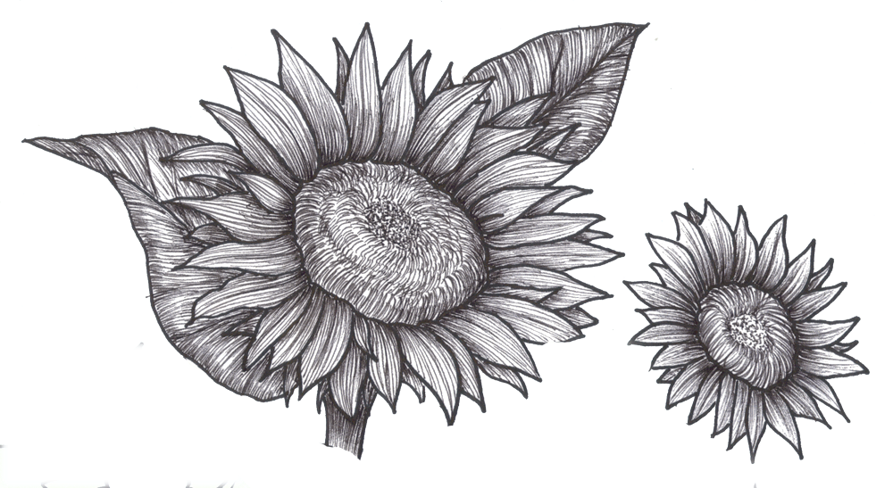 Flower Drawings Clip Art Sunflowers This Is The Detailed Line Drawing Of The Sunflowers Holiday And Craft Ideas Pinterest Flower Drawings Draw And Dr