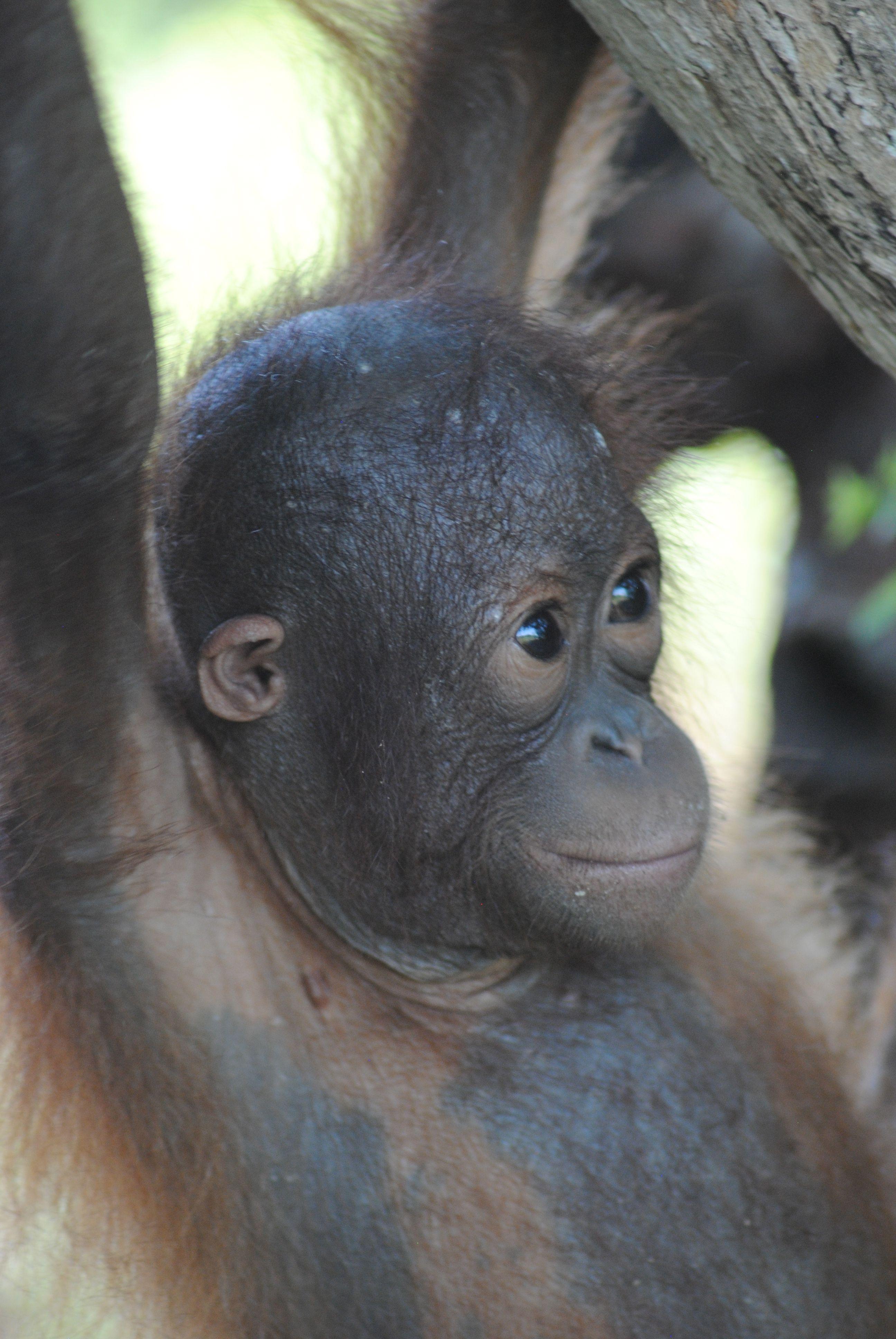 Bonita   Orangutan, Orangutan sanctuary, Pets