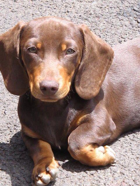 Go To Hoosier Dachshund Dachshund Dog Dachshund Breed