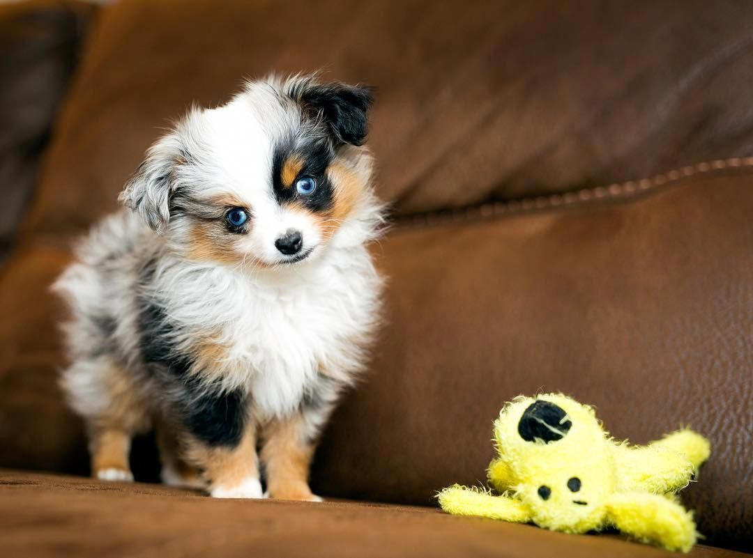 Australian Shepherd Smart Working Dog In 2020 Australian Shepherd Walker Puppies Aussie Puppies