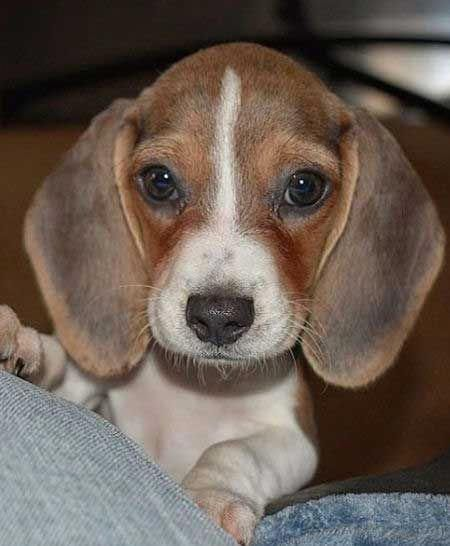 Fall In Beagle Love With These Cute Beagle Puppies And 10 Beagle