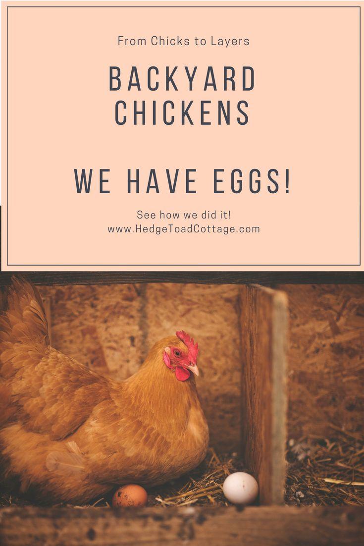We Have Eggs! - Raising Backyard Chickens   Best egg ...