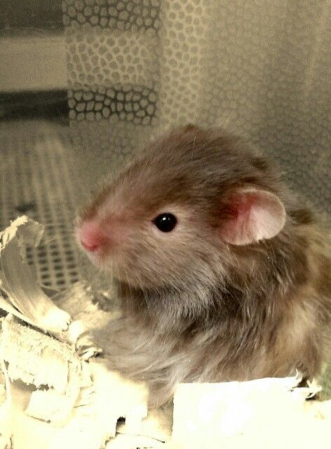 Syrianlonghaired Hamster Longhairedhamster Petsmart Animals Long Haired Hamster Cute Hamsters