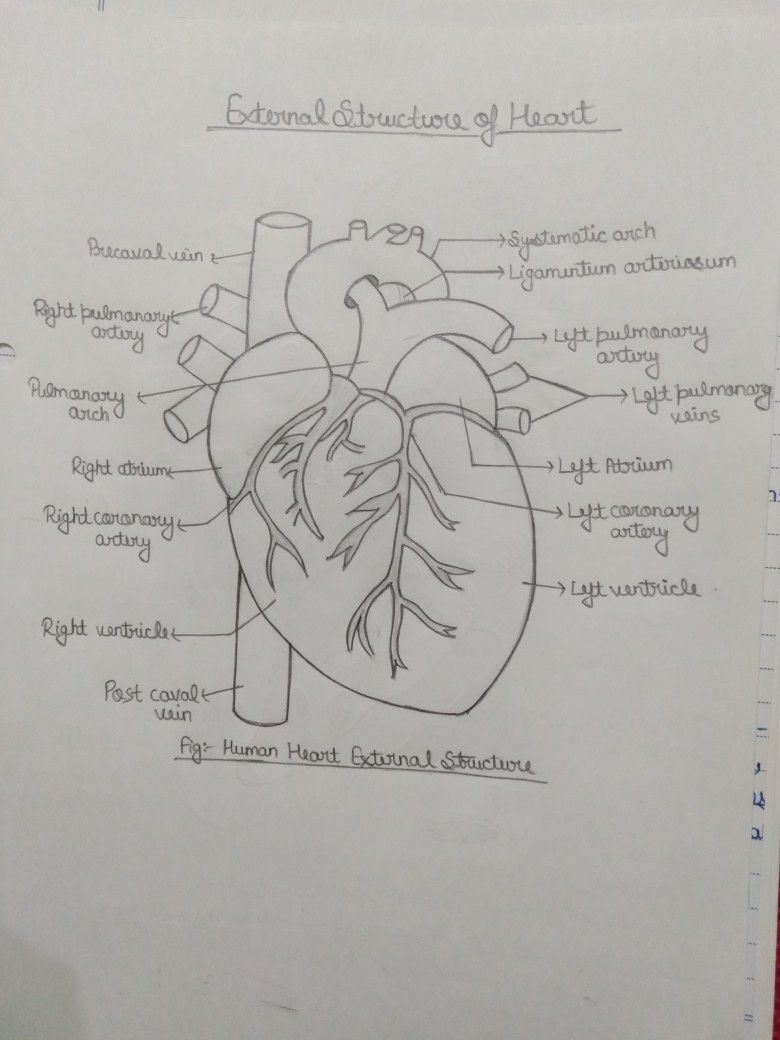 External Structure Of Heart Biology Notes Biology Quote Learn Biology