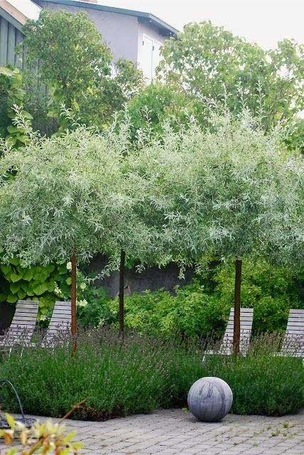 Photo of Pyrus Salicifolia 'Silver Frost', aka willowleaf pear. Zones 4-7, up to 15′ tall…
