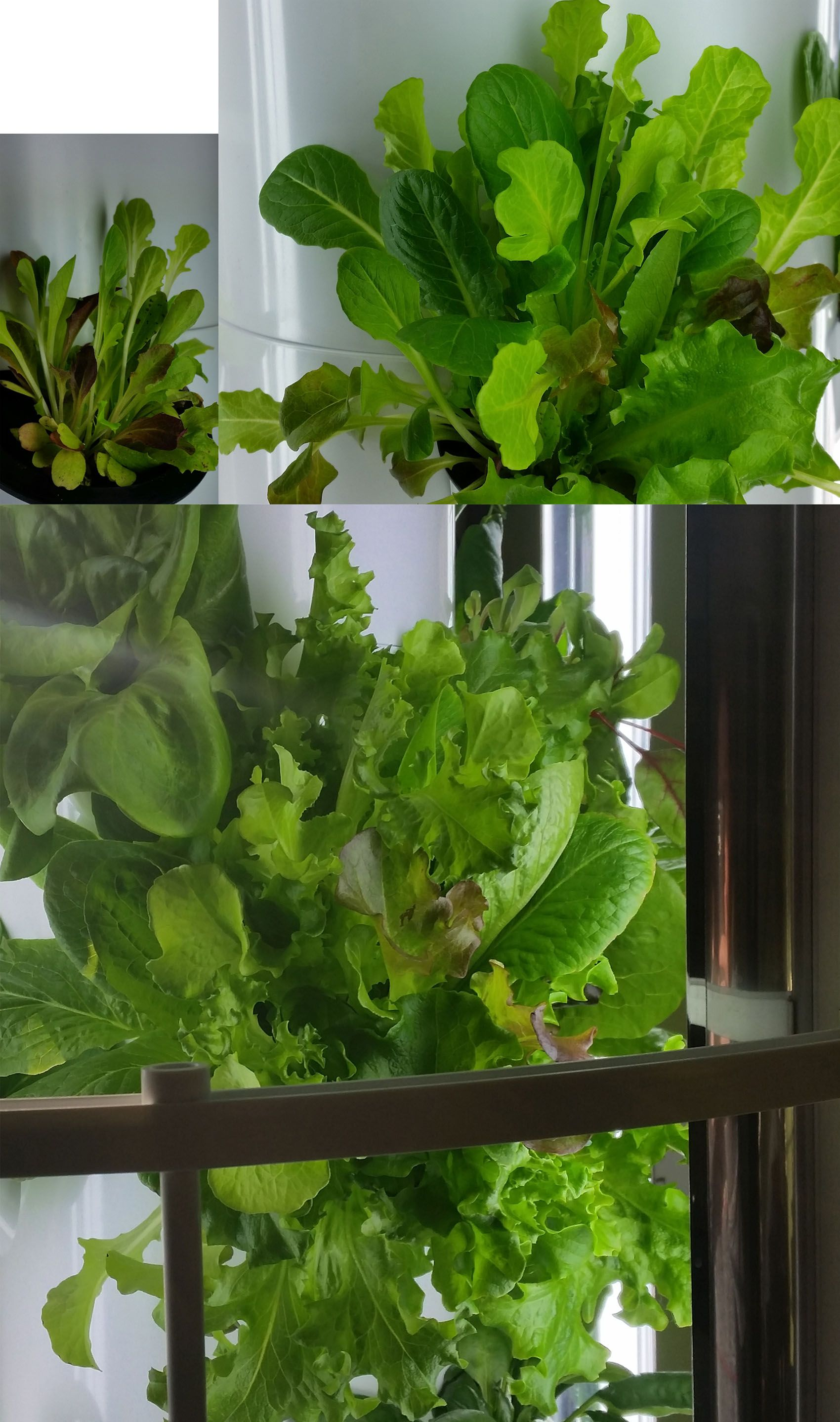 Tower Garden Spring Mix Lettuce Leafy Greens a