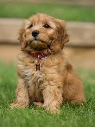 11 Symptoms of Dogs with Worms Goldendoodle names, Happy