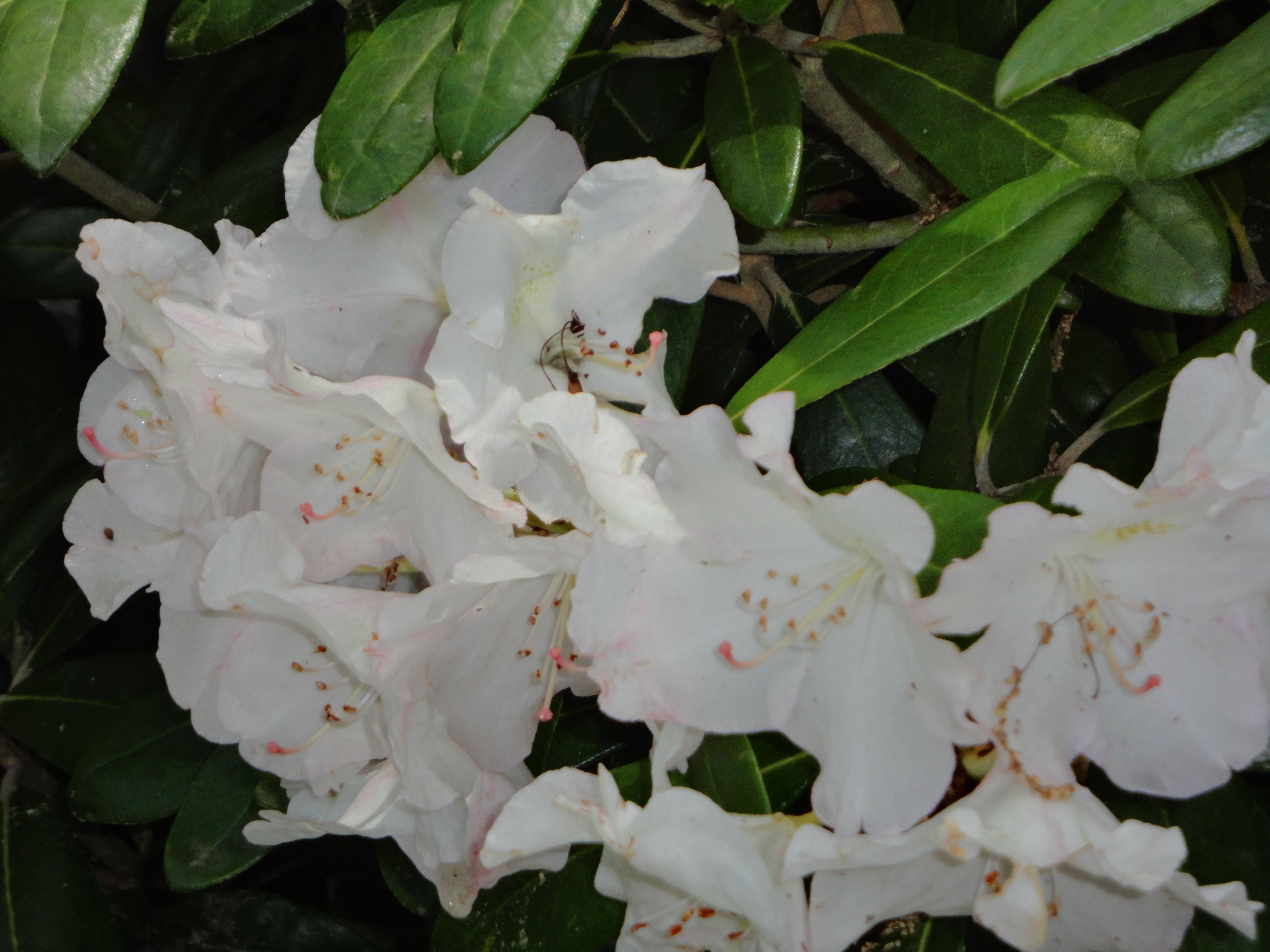 White Rhododendron Flower Flowers Land Scaping Pinterest