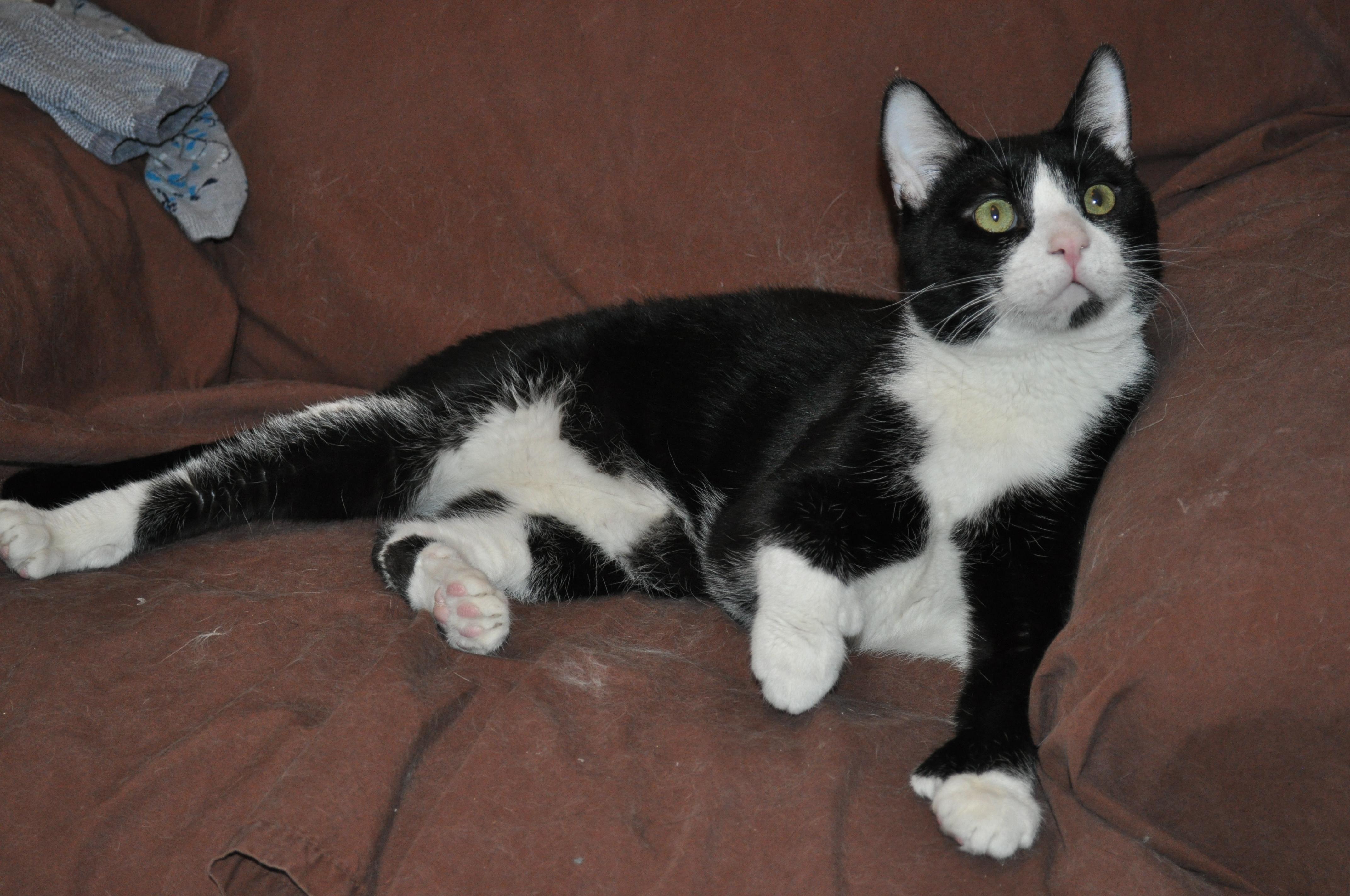 Adopt Cyrano on Fisher animal, Polydactyl cat, Pet finder