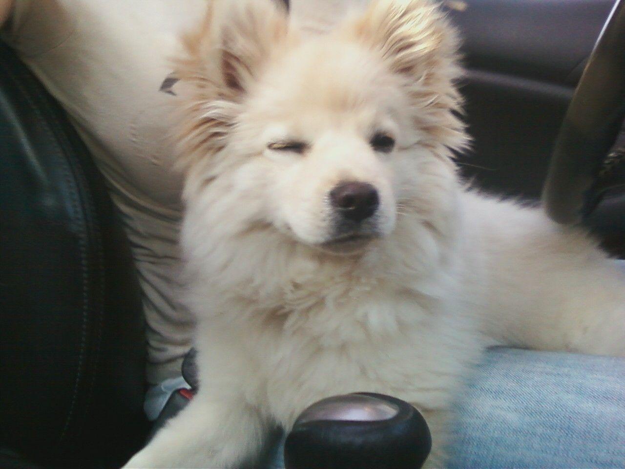 Plum Is A Chow Chow Chihuahua Pomeranian Mix Sweet Like Fred