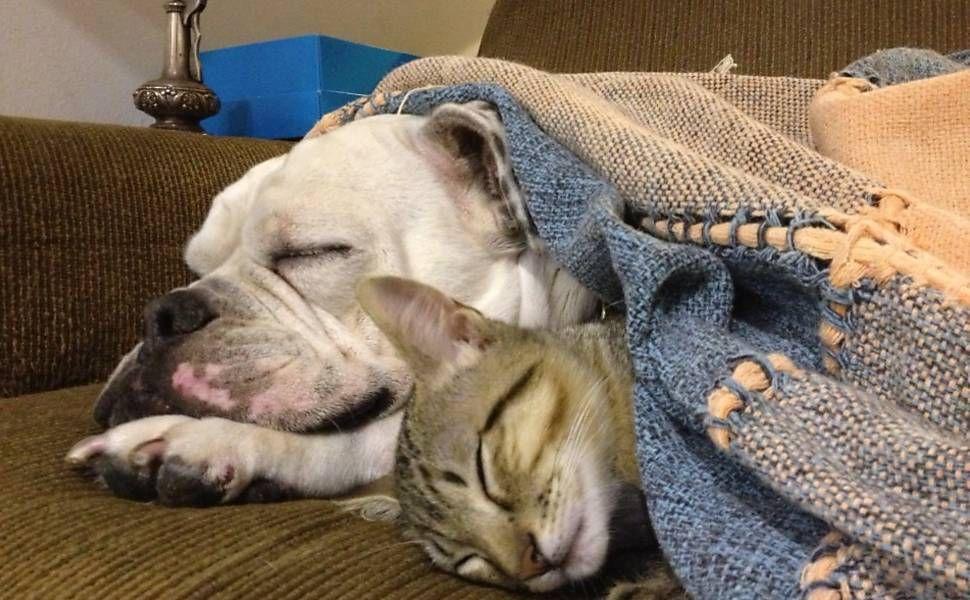 Buldogue e gato tiram cochilo juntos embaixo de cobertor; veja mais mascotes