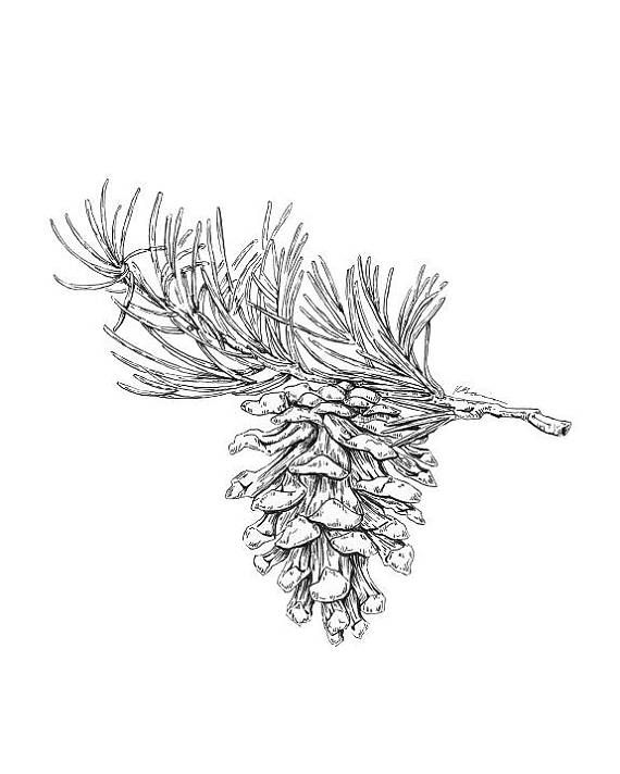 Pine Cone Art, Black and White Art, Christmas Tree Art, Pinecone ...