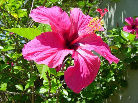 hibiscus ou althea hibiscus syriacus plante taille entretien arrosage arbustes du. Black Bedroom Furniture Sets. Home Design Ideas