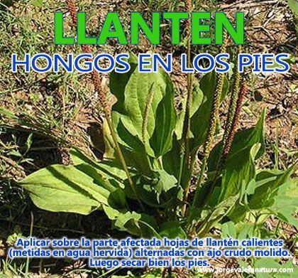 Llanten propiedades medicinales gardening pinterest for Planta decorativa propiedades medicinales