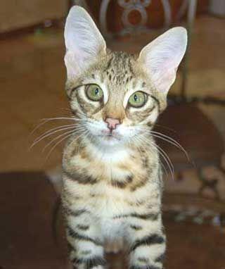 Savannah Kittens For Sale Savannah Cat Hybrid Cat Asian Leopard Cat