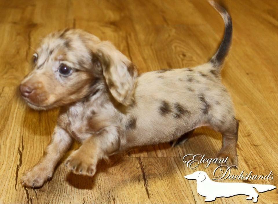 Chocolate and tan dapple longhair dachshund elegant