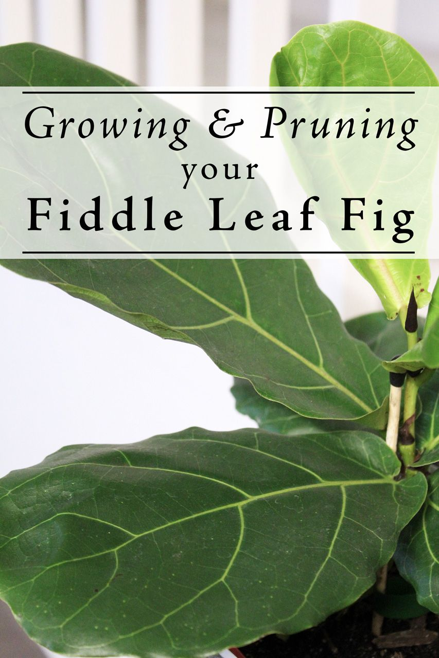 Growing and Pruning Your Fiddle Leaf Fig - A guide for small plant or bush to standard tree form.