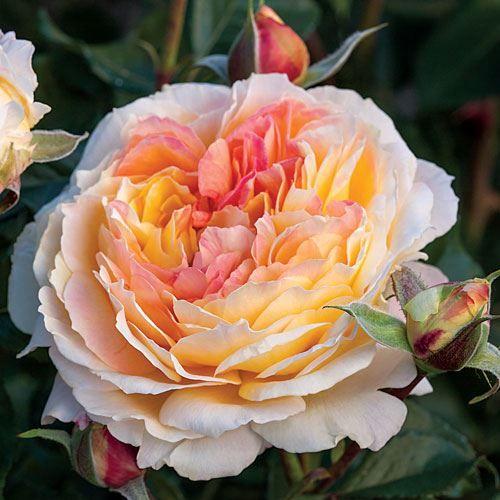 La Park\u0027 Floribunda Rose Garden Pinterest Park, Rose and Gardens