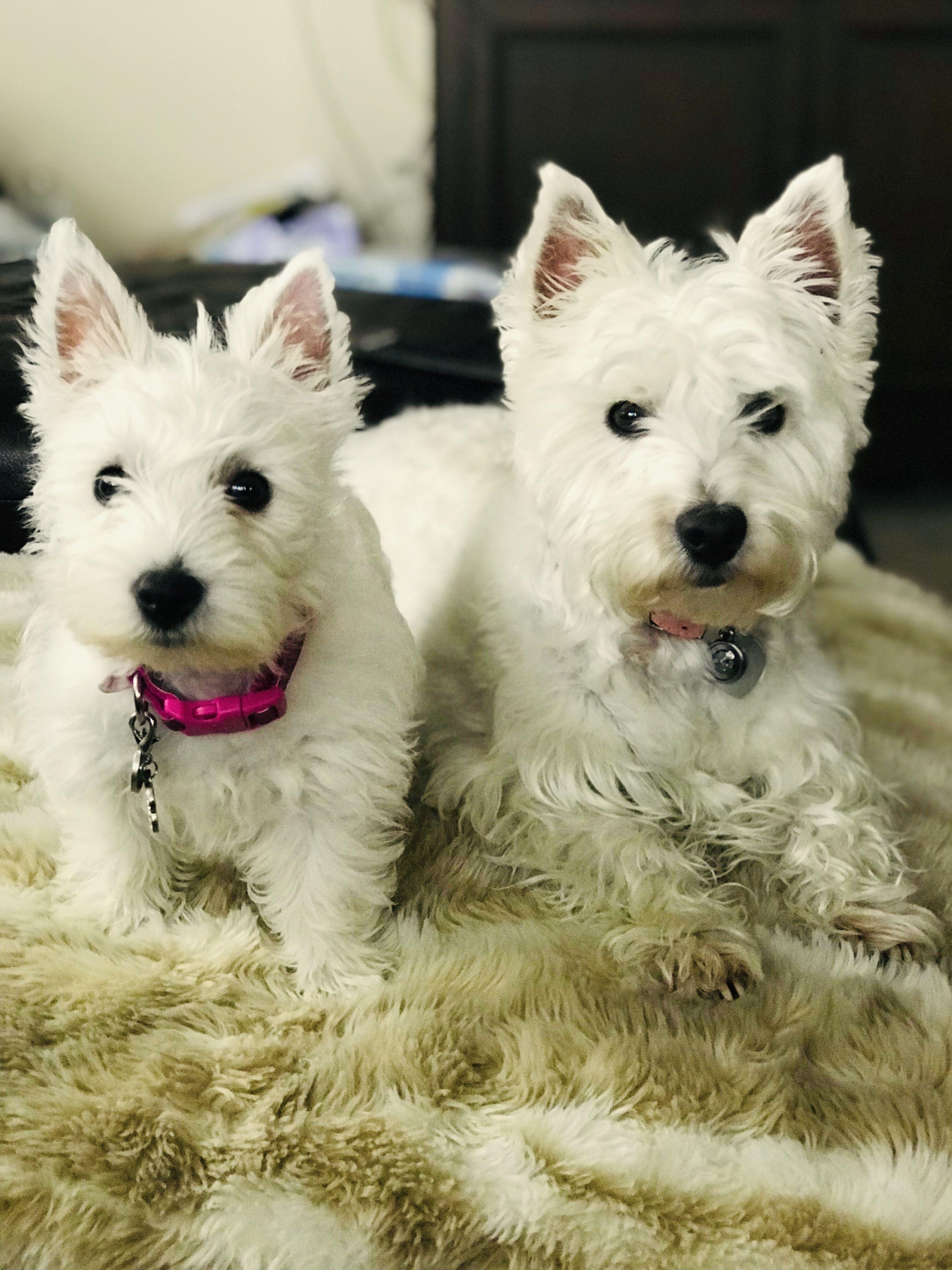 Pin by Dee on Westie Westie puppies, dog, Dogs
