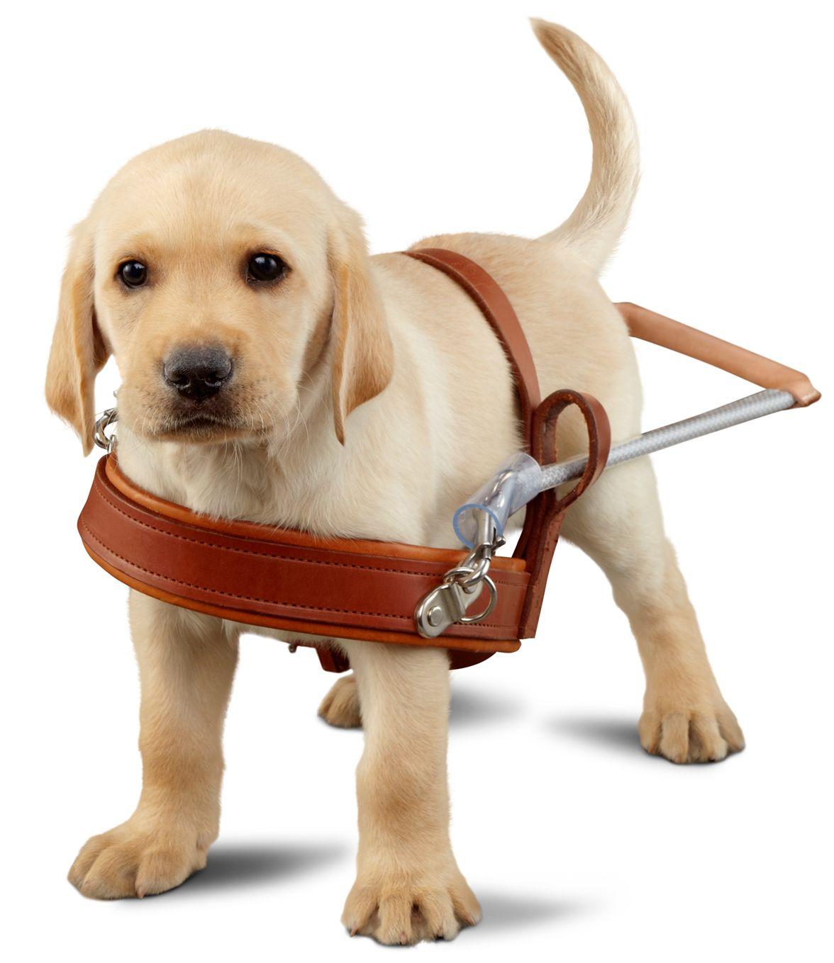 Guide Dogs for the Blind Guide dog, Diabetic alert dog