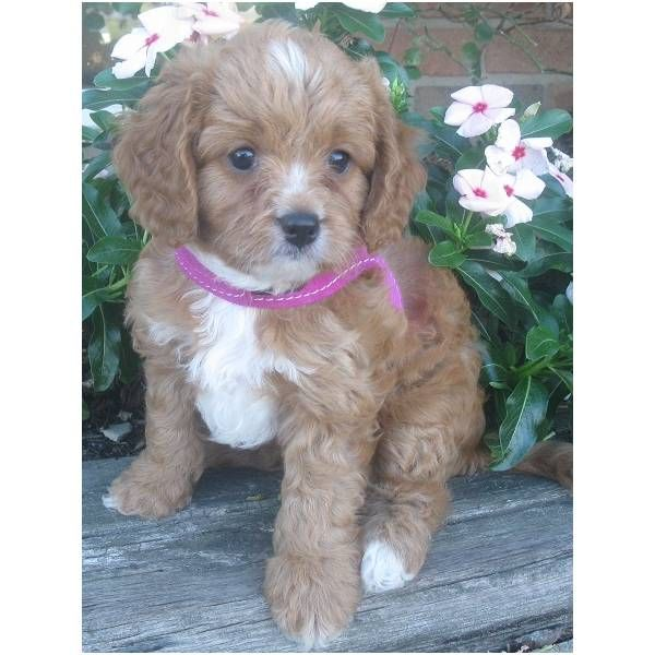 Cavapoo Puppies For Sale Puppy Adoption Keystone Puppies Cavapoo Puppies Cavapoo Puppies For Sale Cavapoo