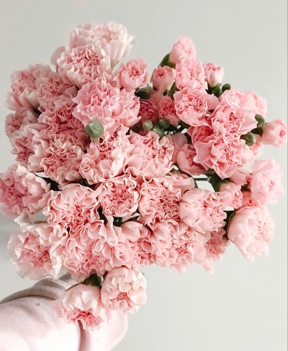 Light Pink Carnations Pale Pink Carnations Whole Blossoms In 2020 Carnation Flower Pink Carnations Wholesale Flowers